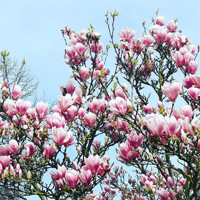 Printemps magnolias mars soleil Emilie Fiala