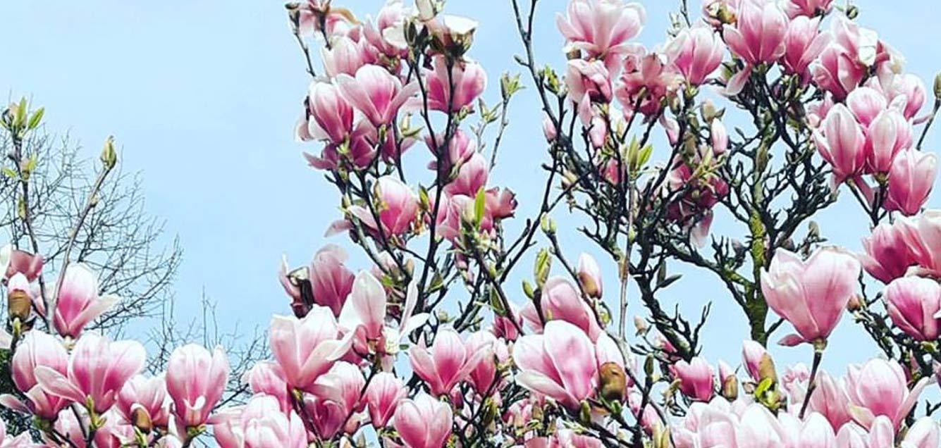 Printemps magnolias pastel mars fleurs Emilie Fiala